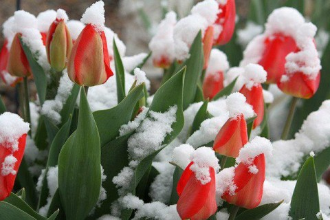 Tulip in Snow greenblueglobe blogspot