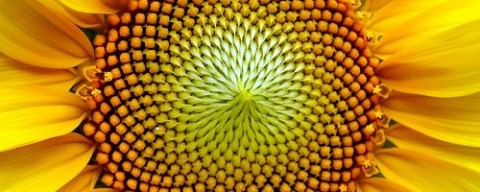 sunflower1-500x200
