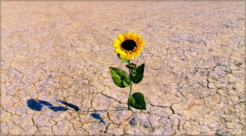 Sunflower in desert